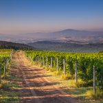Chianti Vineyard in the Tuscan Hills on a Summer Morning