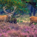 Strong male with female Red deer (Cervus elaphus) in field of heathland in National Park Hoge Veluwe, Netherlands