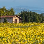 House in Field of Sunflowers in Tuscany Landscape, Italy